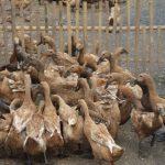Jenis-Jenis Pakan Bebek Petelur yang Perlu Diketahui Peternak