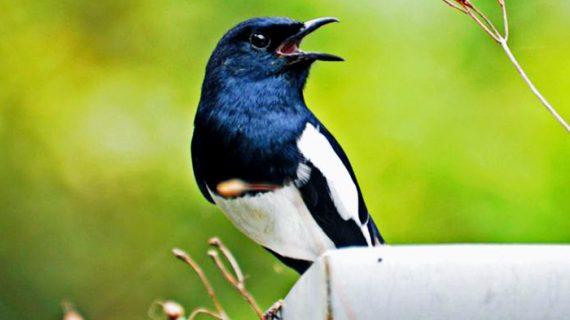 5 Cara Melatih Burung Kacer Agar Sehat dan Gacor