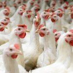Fakta-fakta apa saja yang menarik terkait dengan Ayam Broiler ?