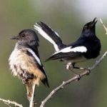 Budi Daya Burung Kacer Bagi Pemula
