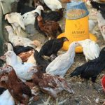 Lokasi Strategis yang Bagus untuk Beternak Ayam