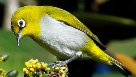 Cara Merawat Burung Pleci Biar Gacor Dan Ngekek Panjang