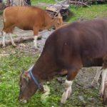 Ternak Sapi Potong atau Sapi Perah : Berikut Faktanya