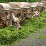 Fermentasi jerami sebagai alternatif pakan ternak Sapi