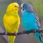 Bagaimana cara membedakan burung lovebird jantan dan betina ?