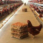 Analisa Peluang Usaha Ayam Petelur, Harga dan Rincian Biaya