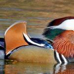 5 Fakta Bebek Mandarin, Unggas dengan Bulu yang Indah