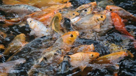 Panduan lengkap budidaya ikan mas