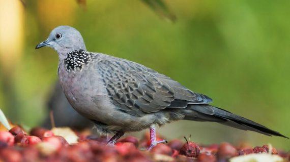 Cara Merawat Burung Perkutut agar Sehat dan Gacor