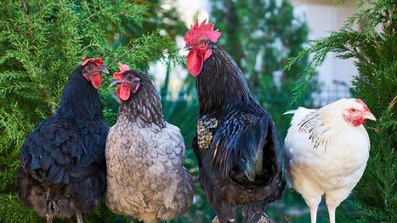 Ini Dia 10 Alasan Beternak Ayam Kampung