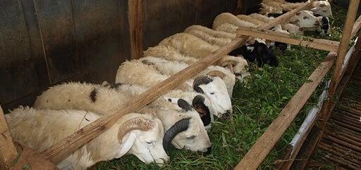 Cara Membuat Pakan Ternak Domba Fermentasi Dengan Mudah