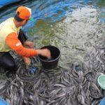 Ternak Budidaya Ikan Lele Pemula yang Mudah Cepat untung