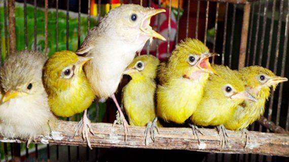 7 Ciri pembeda burung pleci jantan dan betina