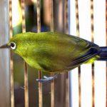 Kebiasaan Burung Pleci Di Alam Liar Yang Menarik Untuk Diketahui