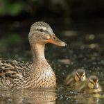 Fakta Seru Si Bebek! Ada Bebek yang Bisa Menyelam, Berenang, dan Juga Terbang,loh!