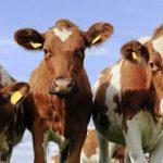 9 Jenis Sapi Potong Kualitas Terbaik, Daging Unggul Bernutrisi Tinggi