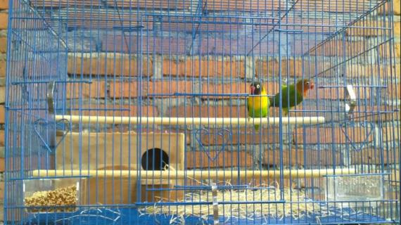 Cara Ternak Lovebird Dengan Baik Untuk Pemula
