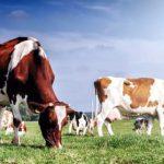 Peluang dan Tantangan Peternak Sapi Perah Meningkatkan Susu Olahan