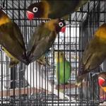 7 Jenis Lovebird Cantik Yang Bagus Untuk Dipelihara