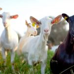 Cara Ternak Kambing Serta Tahapanya yang Benar