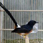 Dijamin Cepat Bertelur! Simak Cara Ternak Burung Murai bagi Pemula