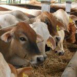 Cara Fermentasi Jerami Untuk Pakan Ternak