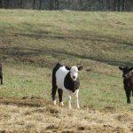Hindari 5 Hal Penyebab Keracunan Pada Hewan Ternak