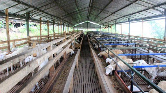 Sukses Budidaya Kambing Domba