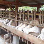 Melihat Potensi Domba Sangat Prospektif, Pemkab Pasuruan akan Lakukan Ini