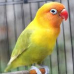 Ciri-ciri Lovebird Bermental Fighter dan Cara Memilihnya