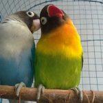 Cara Mengawinkan Burung Lovebird
