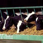 Pakan Sapi Perah Terhadap Kualitas Susu yang Dihasilkan