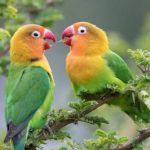 Cara Memelihara Burung Lovebird agar Indah dan Berkicau Merdu