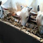 faktor yang mempengaruhi Konsumsi Pakan sapi