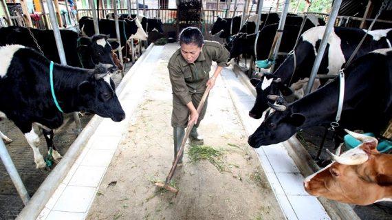 Peran Peternak Sapi Perah untuk Penuhi Kebutuhan Susu di Indonesia