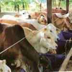 Arti Penting Ternak Sapi & Penyebaran Sapi Potong