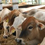 Panduan Lengkap Ternak Sapi Potong Agar Badan Bongsor