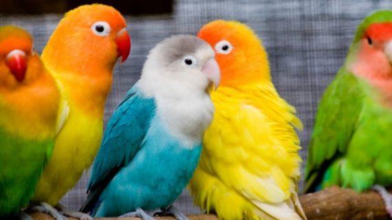 Jangan Salah Merawat Burung Lovebird, Hindari 3 Kebiasaan Ini!
