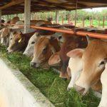 Pakan Untuk Ternak Sapi Potong