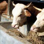 Kenali Ragam Pakan Ternak Sapi yang Berkualitas