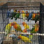 """PENANGKARAN LOVE BIRD """"DAB"""""""