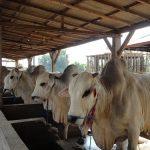 Strategi Pengembangan Ternak Sapi Potong dalam Mendukung Pembangunan Daerah