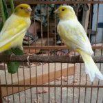 Tips Mudah Cara Ternak Burung Kenari Sistem Koloni Yang Menguntungkan