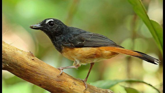 Mengenal Ciri Khas Burung Kucica Ekor Kuning dan Habitatnya
