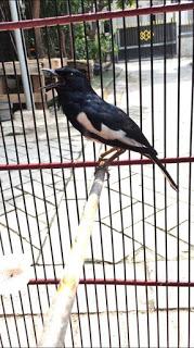 Mengenal asal dan usul burung kacer, dan Cara perawatan harian