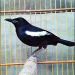 Kelebihan dan kekurangan burung kacer lokal dan kacer poci