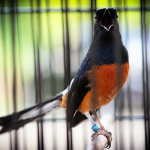 9 Cara Merawat Burung Murai agar Gacor dan Tidak Mudah Sakit