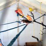 Tips Jitu Cara Mudah Ternak Kenari Koloni Agar Hasil Maksimal dan Menguntungkan