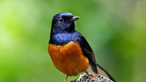 ciri – ciri burung yang terkena penyakit kapur
