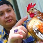 Menelisik Pesona Ayam Serama, Makin Sombong Harga Makin Mahal